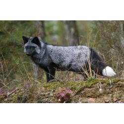 renard argenté